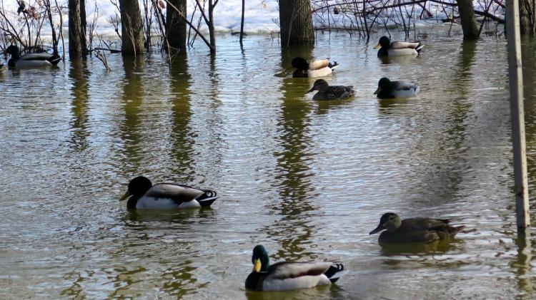 heureux qui comme les canards ont beaucoup voyagé