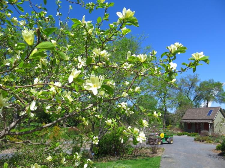 Magnolias (3)