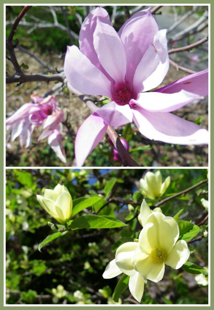 Magnolias (4)