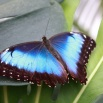 Le morpho bleu