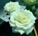 jardinroses01