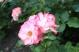 jardinroses04