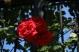 jardinroses05