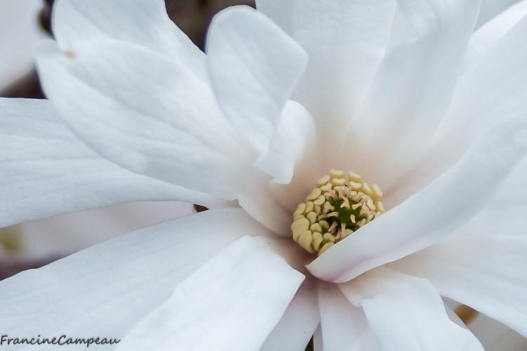 magnolias-4
