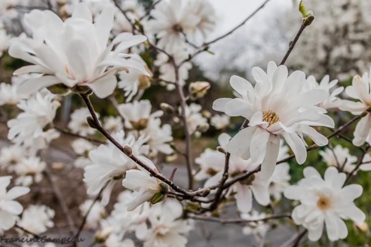 magnolias-5