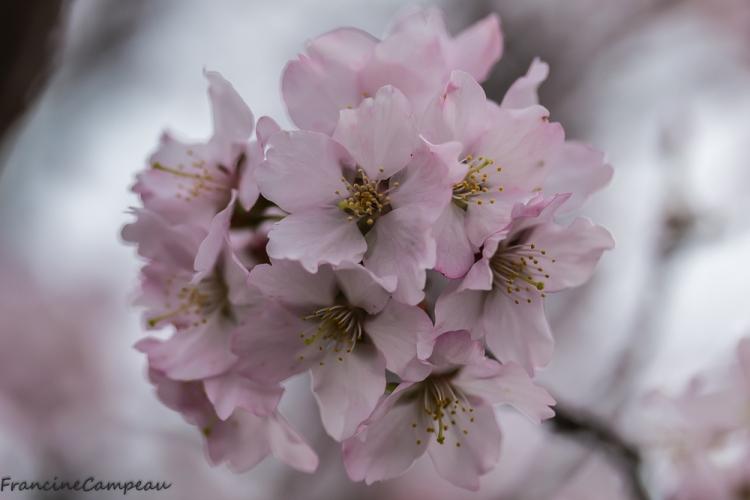 magnolias-8